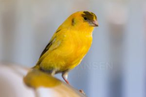 Yellow Canary on Car - Steve Jansen Photography